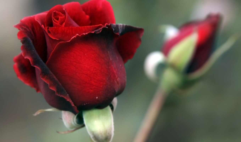 бутон, роза, красная, лепестки,