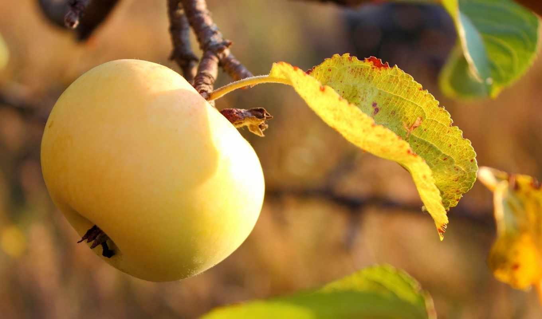 apple, жёлтое, плод, garden, спелое, листва, сад, вкусно,