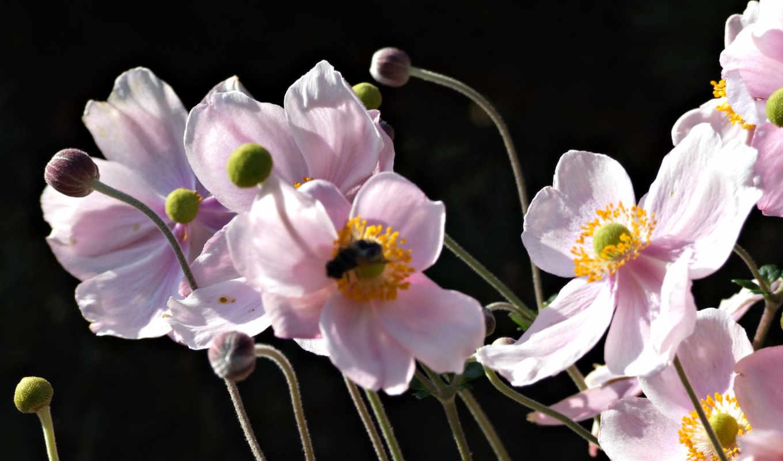 poppies, ra, flower, wallpaper, wallpapers,