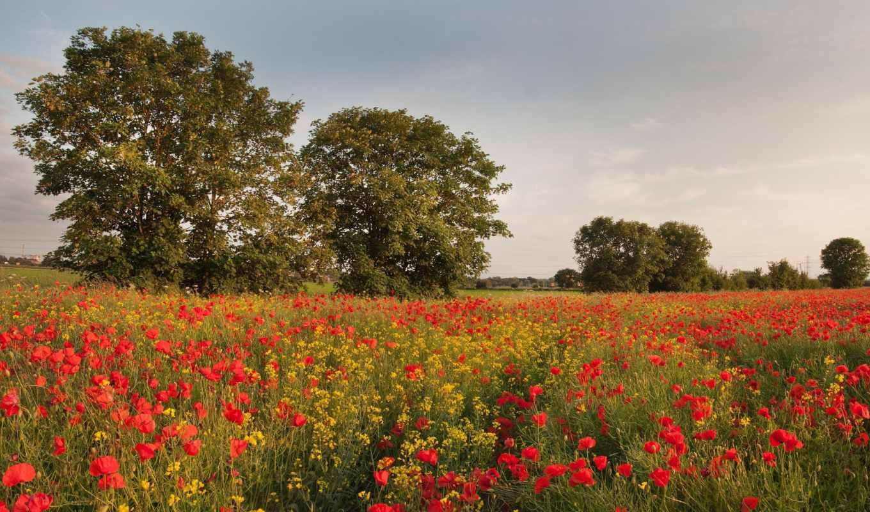 cvety, pole, полевые, маки, красные, деревя, priroda,