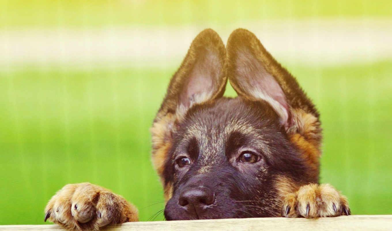 овчарки, овчарка, немецкая, собаки, щенок, коллекция, лапы, восточно, положил, европейской,