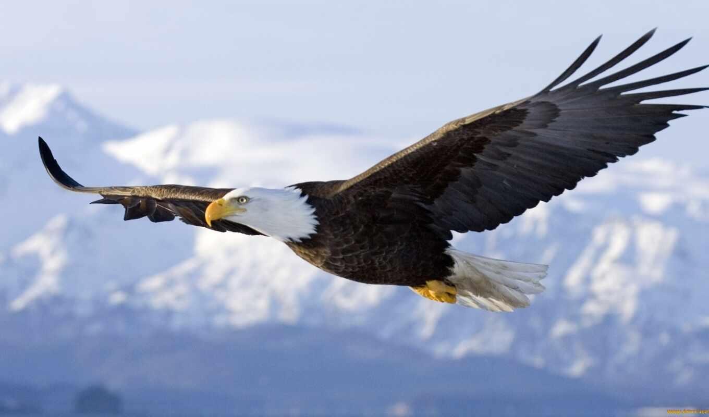орлан, птица, мире, орла, белоголовый, птицы, хищная, полет,