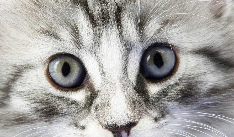 серый, котенок, kot, glaza, vzglyad, высоком,