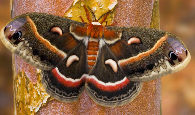 регистрации, без, крылья, бабочка, cecropia, мотылек, нов, лапки,