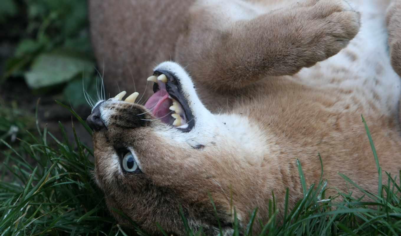 животные, морда, рысь, клыки, кот,
