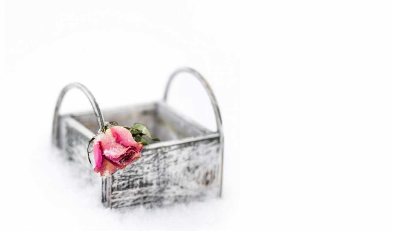 роза, single, цветы, desktop,