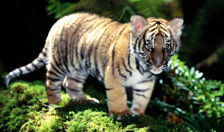 тигр, клипарта, indochinese, коллекция, хищники, категорию, места, переход, bar, клипарт,