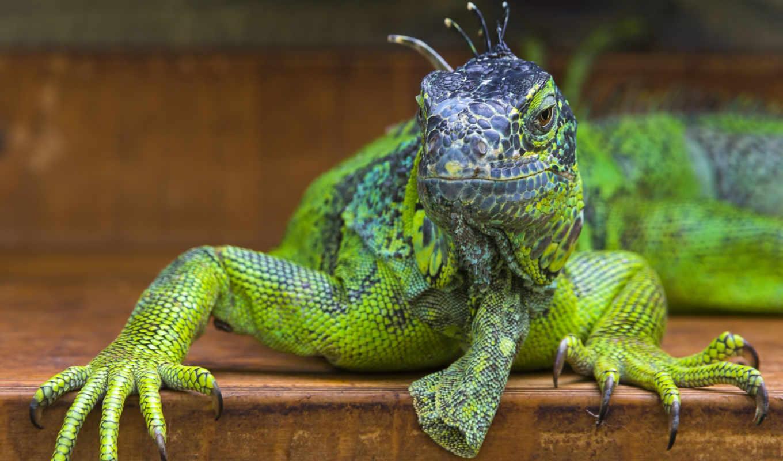 игуана, животные, рептилии, ящерица, голова, взгляд, Зеленый,