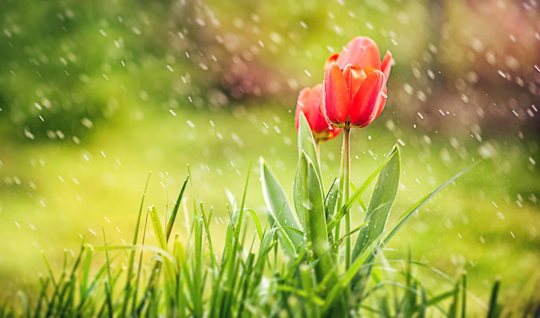 rain, nature, spring, tulips, grass, flowers,