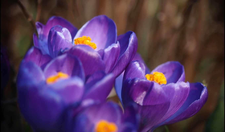 часть, фиолетовый, макро, высоком, сиреневый, крокусы, марта, лепестки,