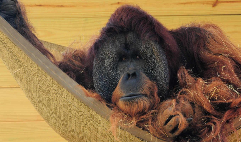 iphone, орангутан, best, длинная, animal,
