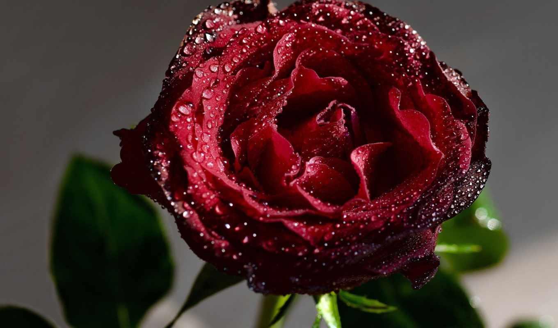 waters, цветы, роза, капли, темно, каплях, красная, страница, разрешениях, разных,