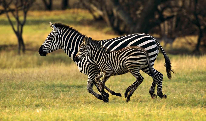 животных, животные, зебры, дикие, zebra, детей,