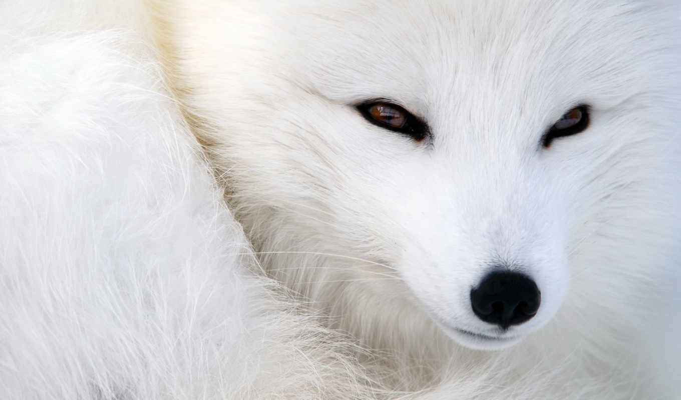 ,arctic fox, snow fox, white fox, polar fox, fox, snout, лиса,