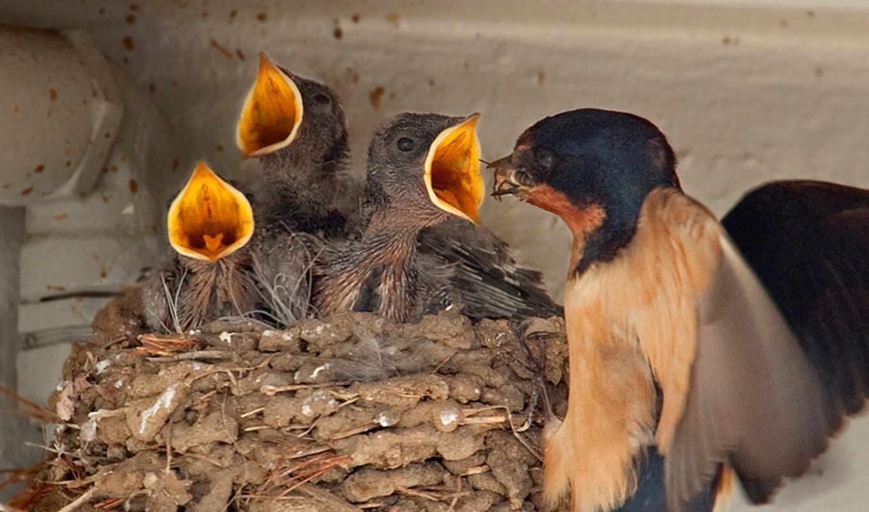 chicks, birds, nest, ласточка, high, barn, resolution, feeding, baby, гнездо,