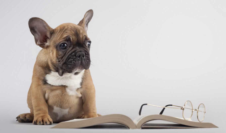 french, bulldog, щенок, собаки, зооклубе, бульдога, собак, французского, зооклуб,