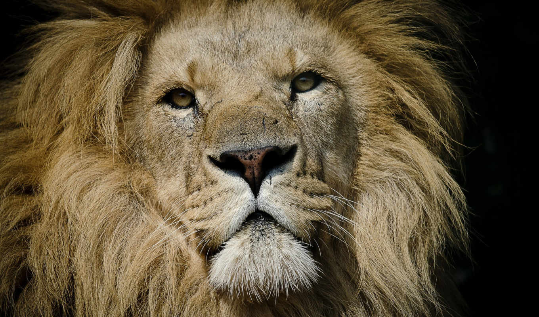 lion, восток, african,