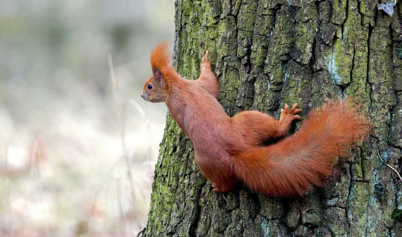 рыжая, дерево, белки, категории, телефон, животные,