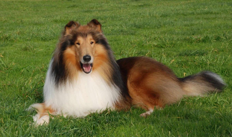 собака, колли, трава, газон, пасть, animal, collies,