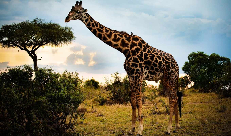 африка, animal, саванна, интересно, oir, funart, который