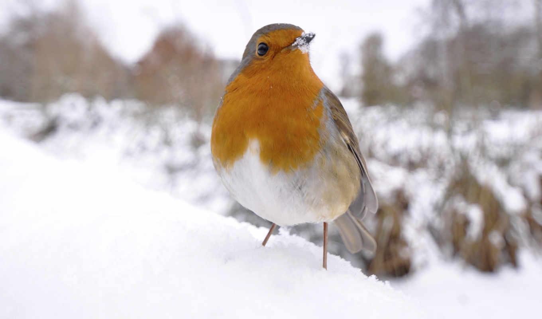 фото, quot, обои, обоев, птица, снегу, robins, под