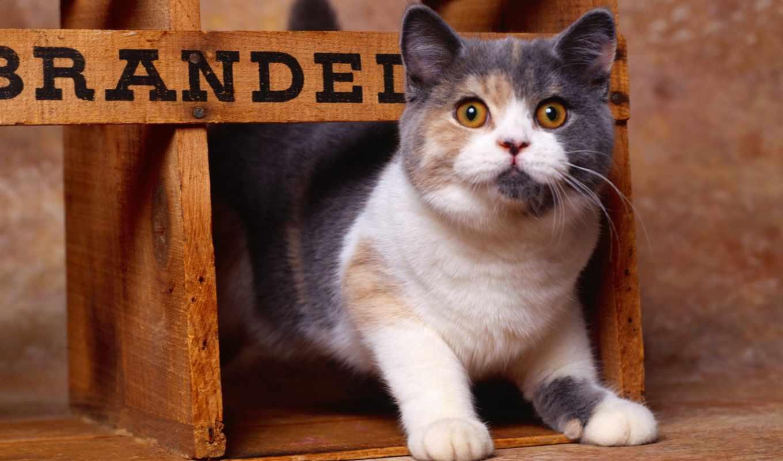 кошки, кошек, cats, british, кошках, lodge, кот, shorthair, корм, наши,