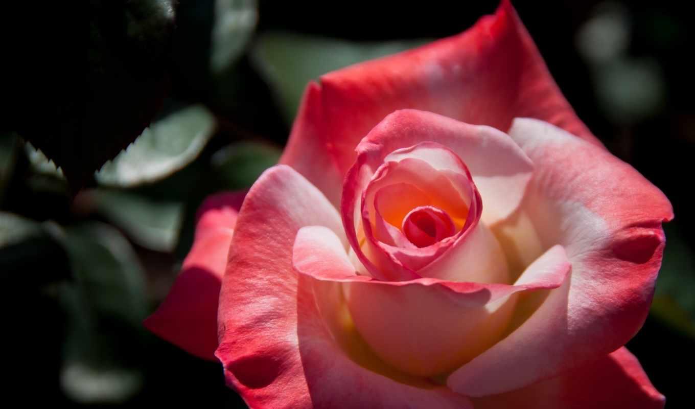 лепестки, роза, макро, бутон,