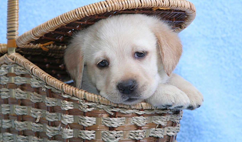 labrador, собака, взгляд, собаки,