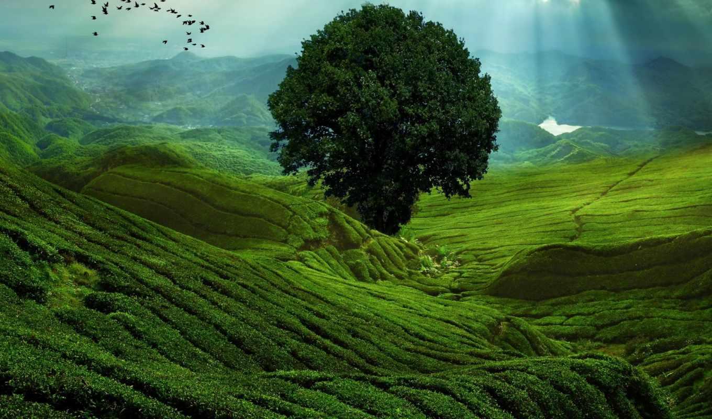 чайные, плантации, бывают, чайная, плантация, чая, китаянка, розы, master, сайт,