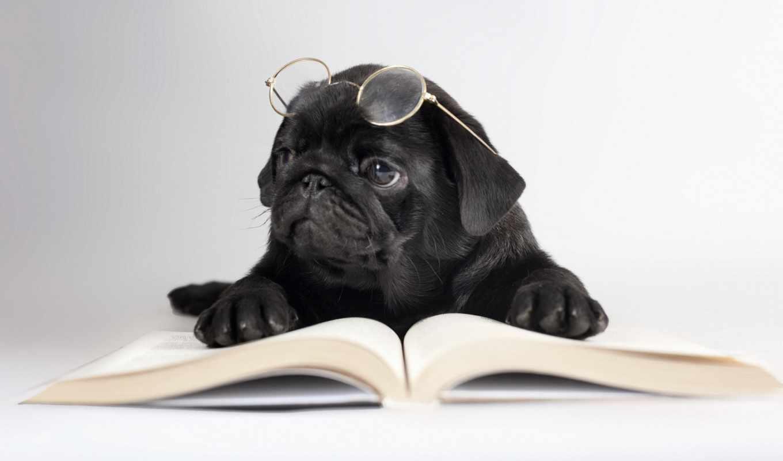 собака, собаки, очки, книга, мопс, широкоформатные, zhivotnye, black, трава, взгляд, лежит,