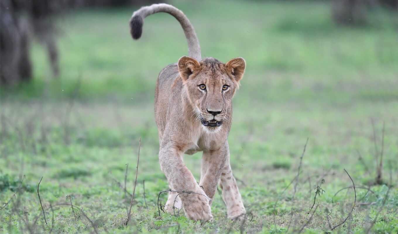 lion, поворот, keep, правильный, мужской, african, live, pride