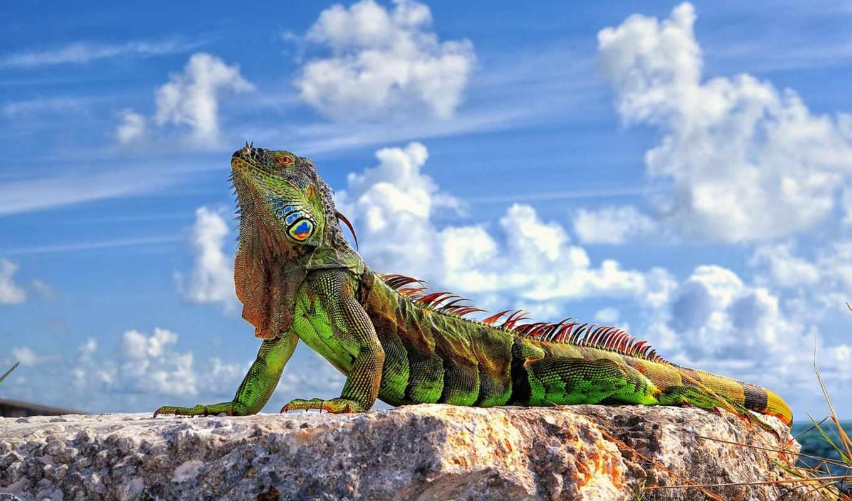 iguana, ящер, новочеркасск, небо, animal, зелёный, presmykatsya, roman, природа