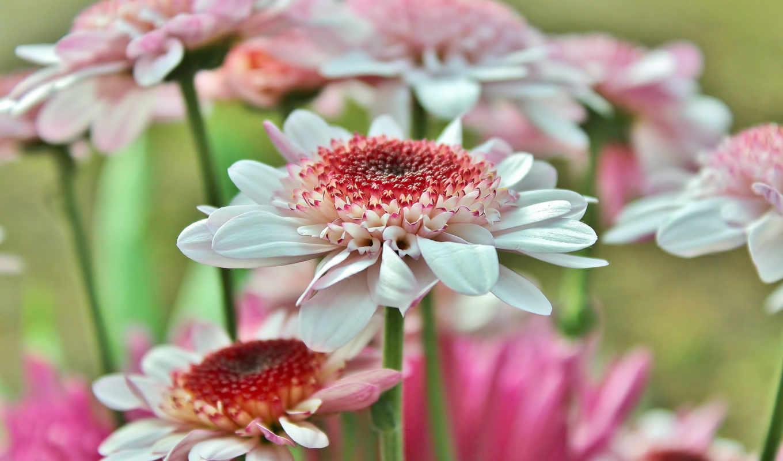 герберы, цветы, лепестки,