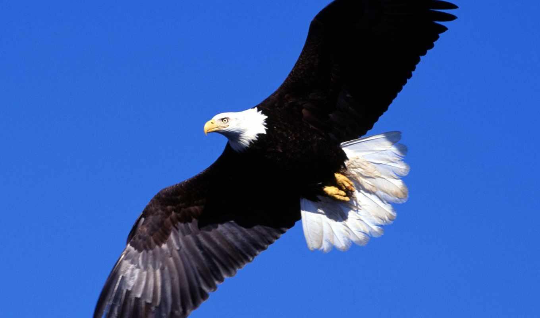 орлан, flying, desktop, images, you, free,
