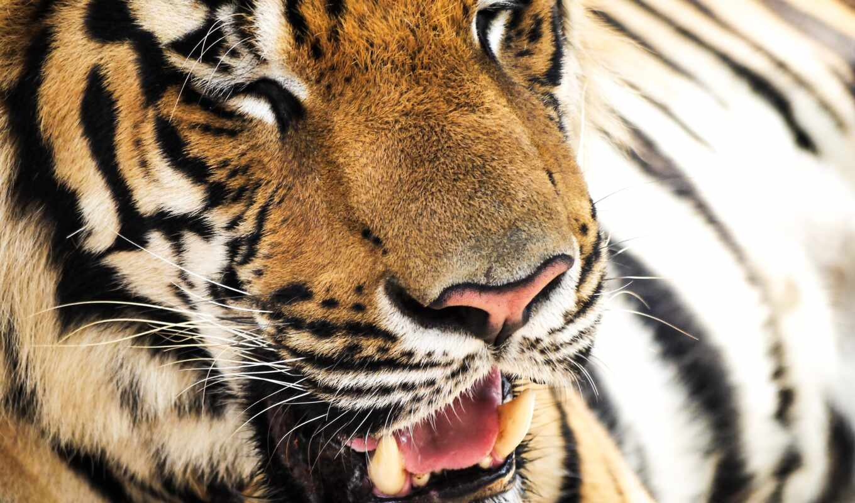 тигр, зуб, детёныш, фон, animal, golov, tigre, pantalla, majestic, see