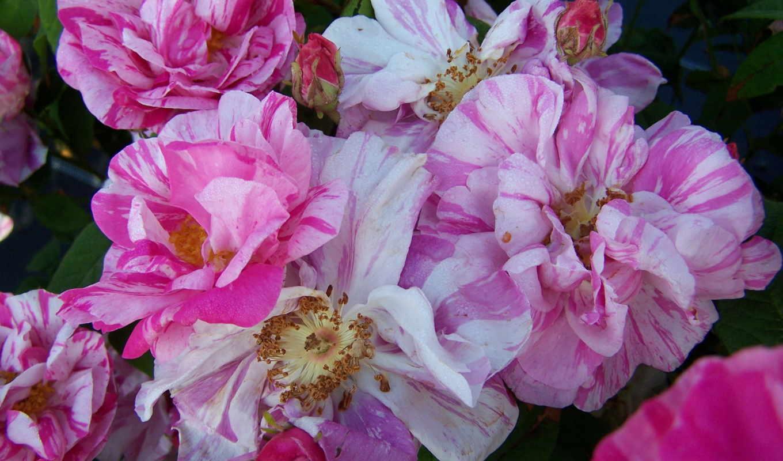 розы, цветы, дамасская, versicolor, розовый, white,