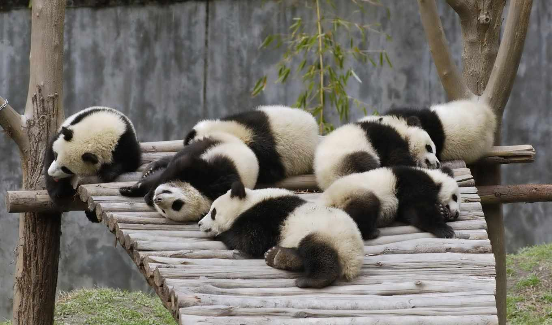 панды, панда, панд, zhivotnye, овцы, мишки, сайте, нашем, высококачествен, десктопмания,
