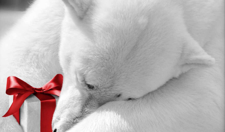 обои, белый, медведь, подарком, фото, подарок, мед