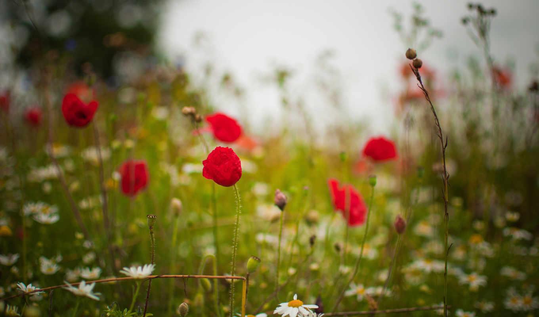 summer, цветы, ромашки, маки, трава, поляна,