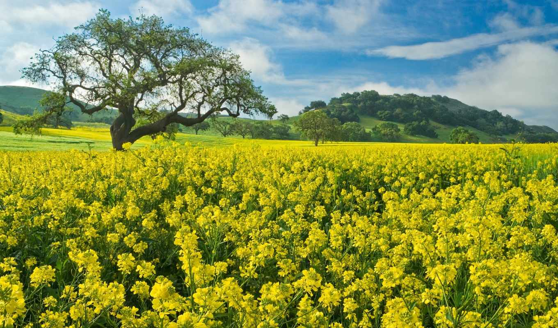 поле, цветы, mustard, дерево, рапс, природа, весна,