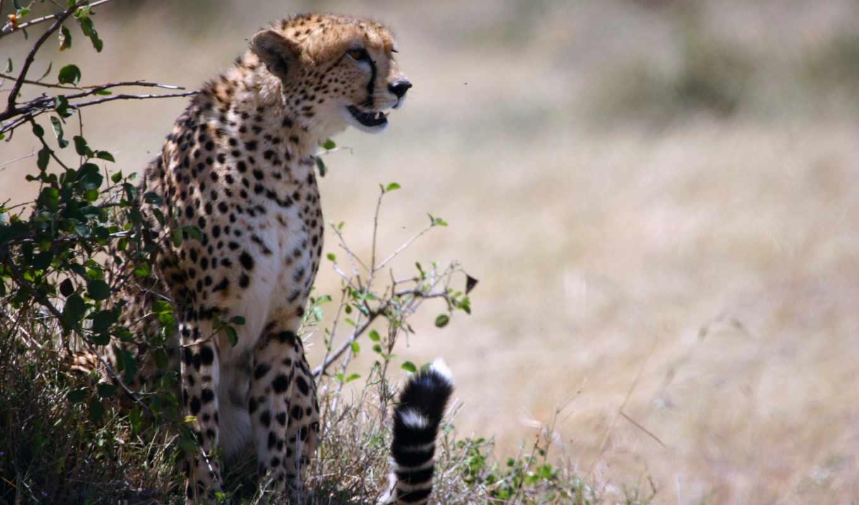 animals, кошки, cheetahs, большие, desktop, zoom, бесплатные, para,