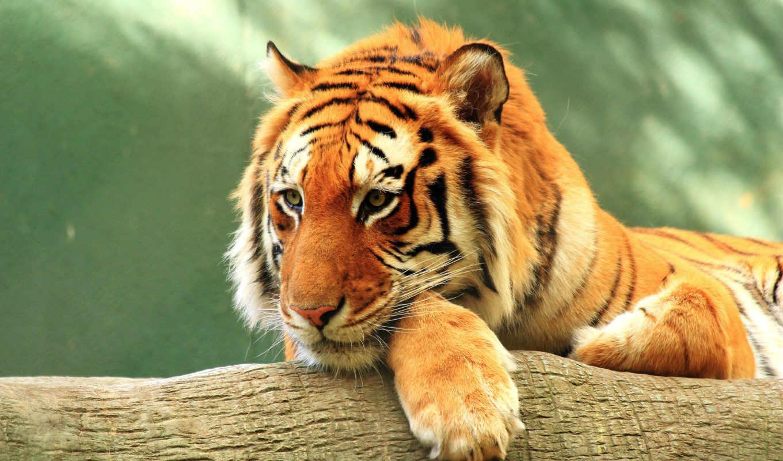 тигр, stock, photos, animals, deviantart, tigers, фото, animal,