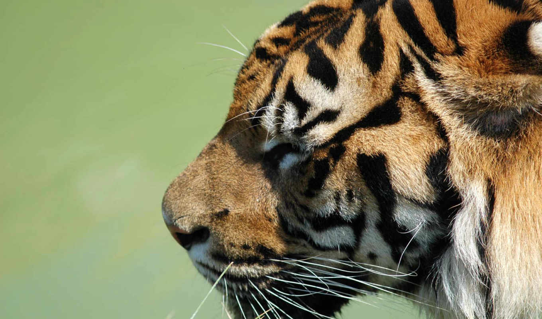 тигр, обои, тигра, животные, белый, обоев, colorea