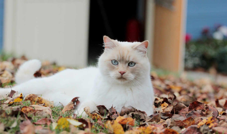 кот, листья, белый, осень,
