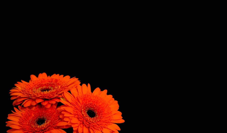 герберы, цветы, черный,