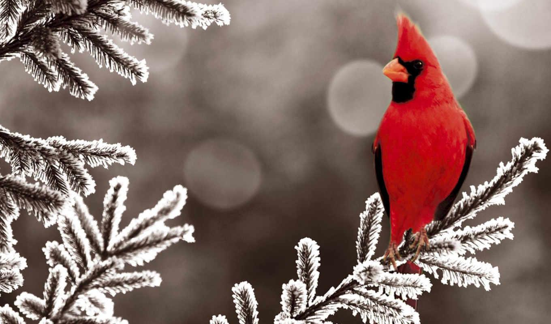 кардинал, красный, птица, ветка, дереве, замерзшем,