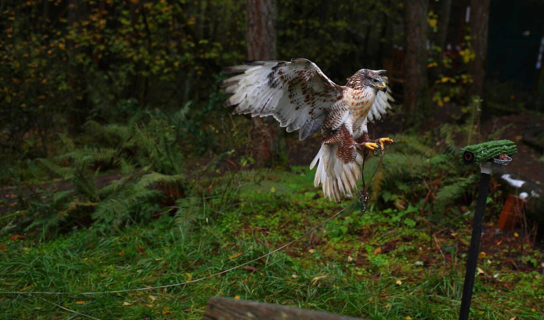 , птица, ястреб, хищник,