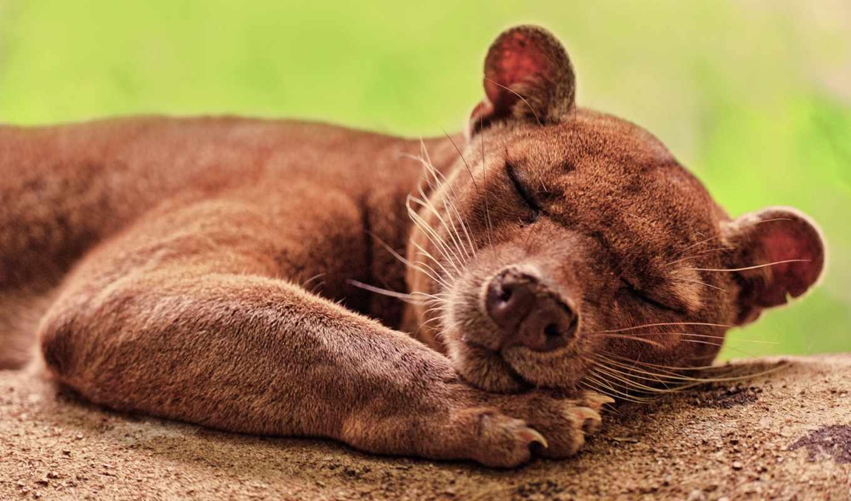 фосса, cryptoprocta, животных, марта, является, ferox, одним, кошка, представитель, рода, самое, редчайших, единственный, lat,
