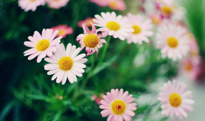 ромашки, цветы, desktop, tagged, para, страница, this, página,