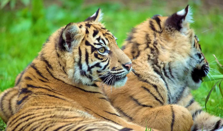 тигр, смотрит, лежит, тигренок, картинка, картинку, кнопкой, мыши,